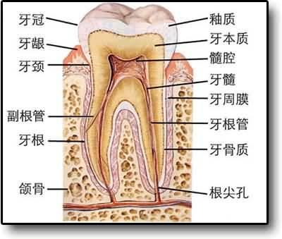 牙齿解剖图手绘